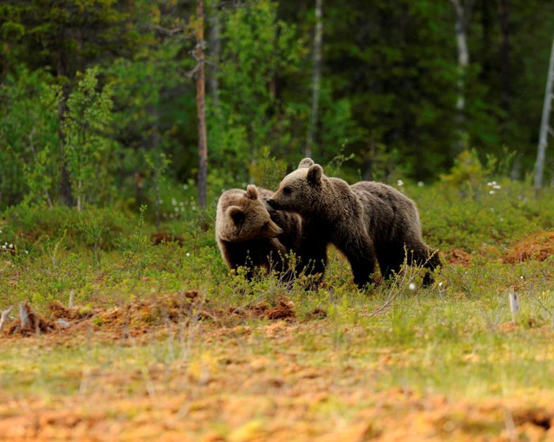 Photo of Trentino, osservate le prime cucciolate di orso. Ecco qualche buona norma di comportamento