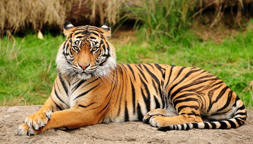 Tigre del Bengala, riserve naturali, ambiente