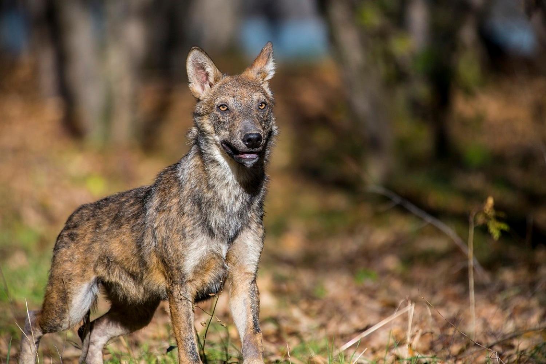 Photo of Abruzzo, a Penne nasce un'area faunistica per il lupo ibrido
