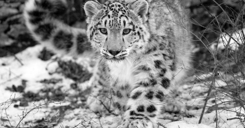 WWF, Nepal, leopardi delle nevi