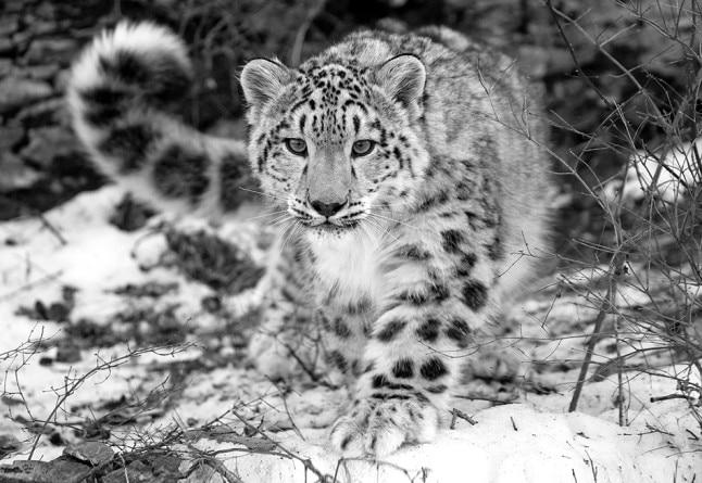 Photo of App del WWF Nepal per salvare il leopardo delle nevi e sostenere la popolazione locale