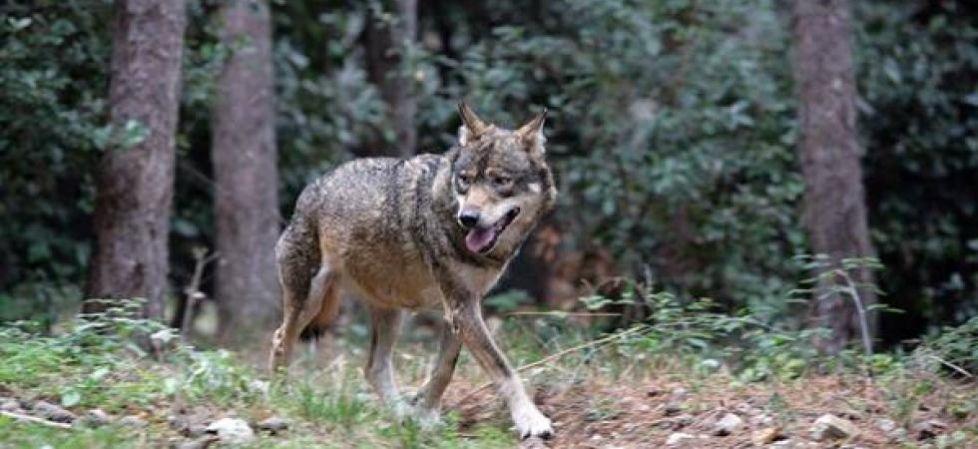 """Photo of """"Al lupo, al lupo!"""" ma erano due cani. Chiusa la vicenda del ciclista inseguito nel bellunese"""