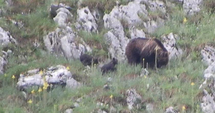 Orso Marsicano, natura, Parco Nazionale di Abruzzo