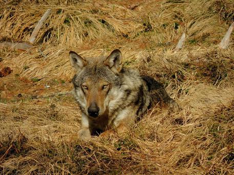 ambiente, fauna, lupi, prevenzione