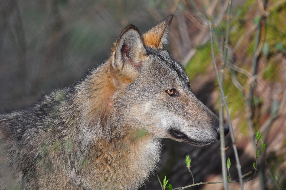 Photo of Il presidente Arno Kompatscher contro il lupo – di Stefano Ardito