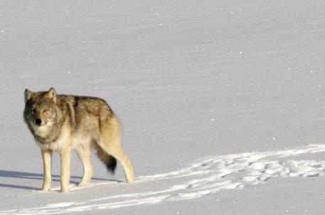 attualità, lupi, orsi, grandi carnivori, Luca Zaia