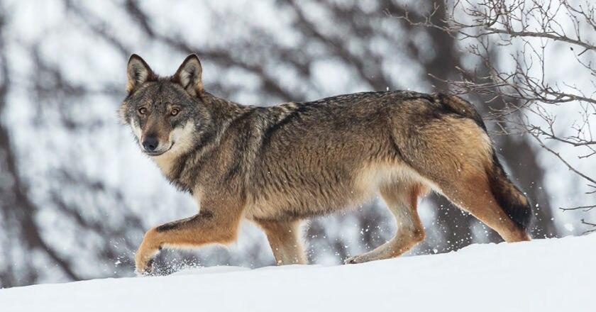 lupi, orsi, grandi carnivori, abbattimento