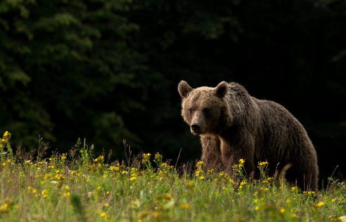 Photo of L'estinto orso delle caverne sopravvive ancora oggi nel dna dell'orso bruno