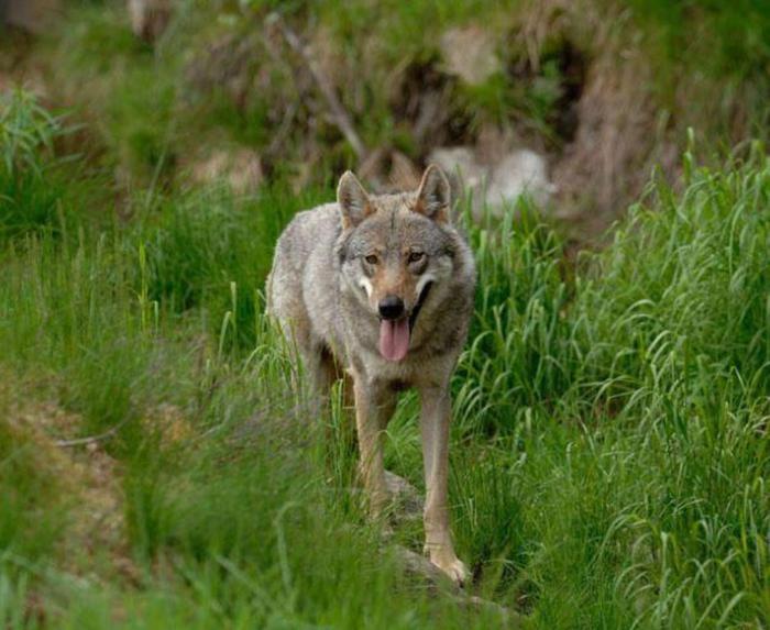 lupi, toscana, trento, bolzano, natura, attualità, abbattimenti