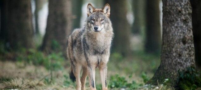 Photo of La Svizzera chiede la riduzione del livello di protezione del lupo