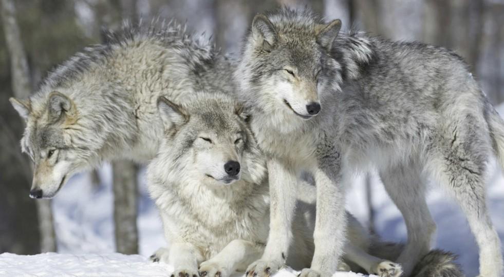 Veneto, questione lupi, grandi carnivori