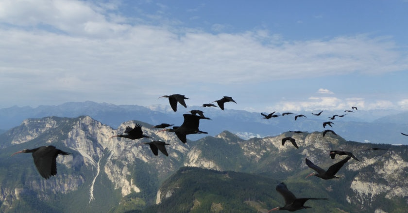 ibis eremiti, alpi, natura