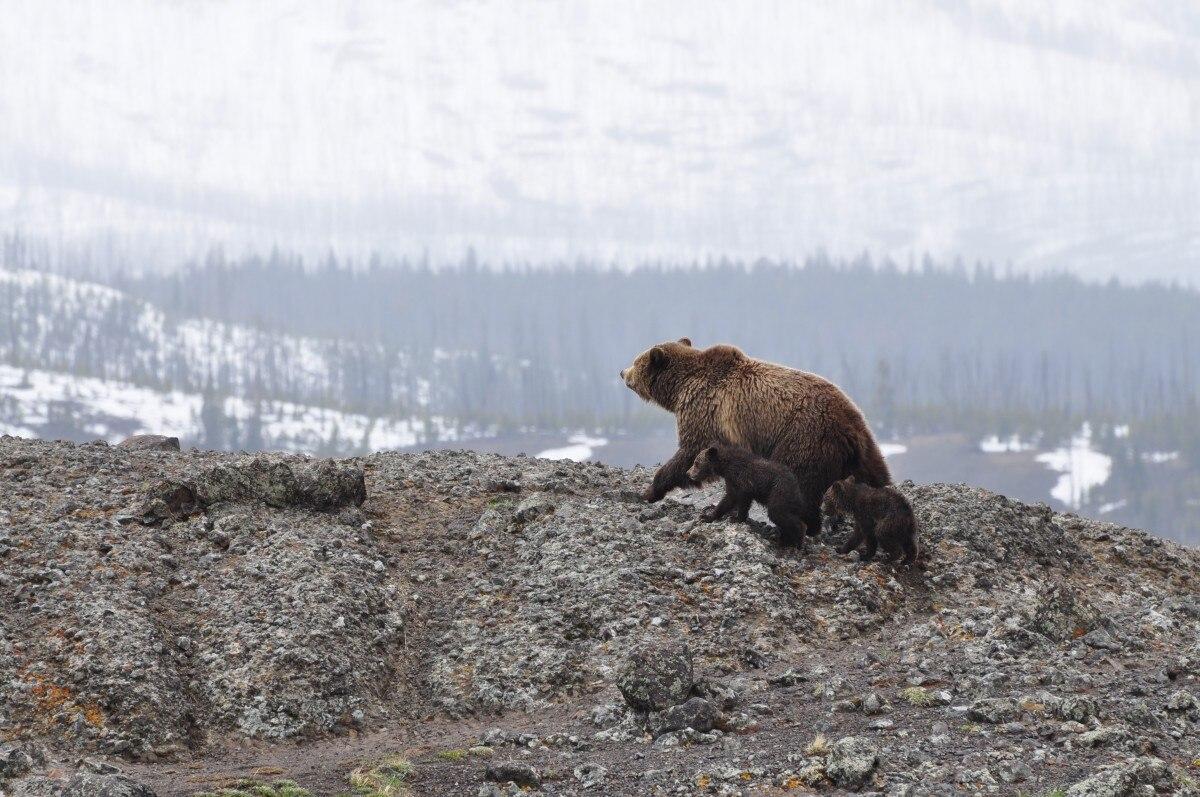 Photo of Trump contro tutti, anche gli orsi di Yellowstone