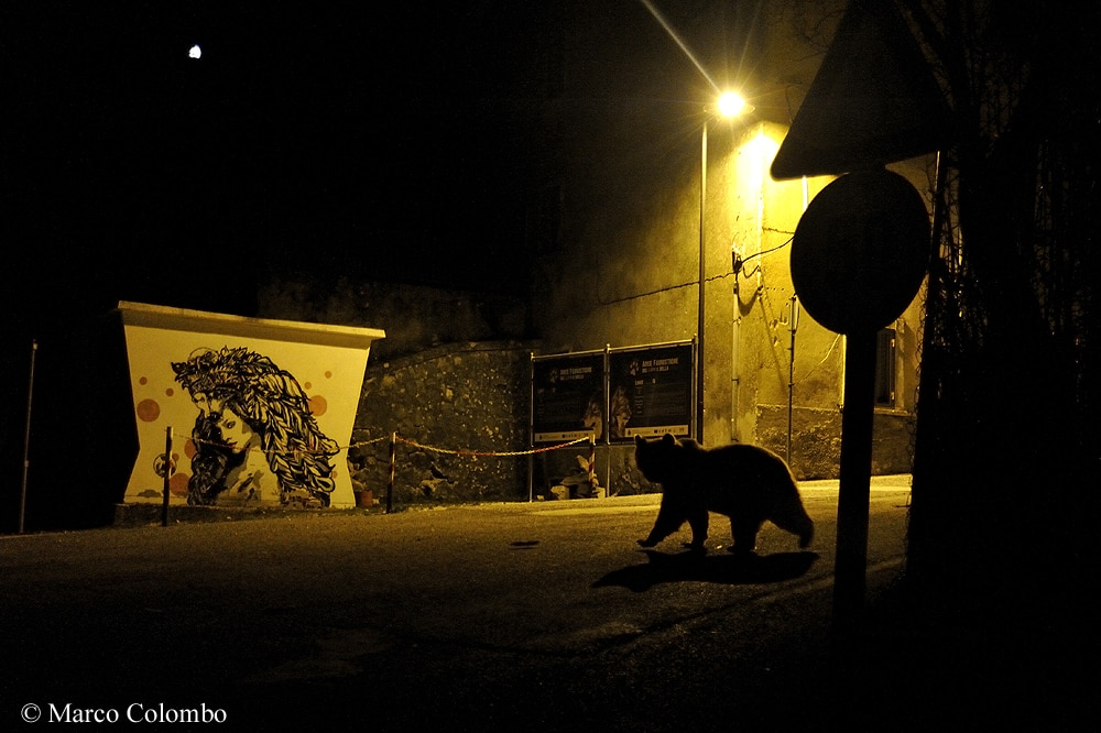 Marco Colombo, Wildlife Photographer of the Year 2018, Urban Wildlife, Crossing Paths, PNALM, orso marsicano