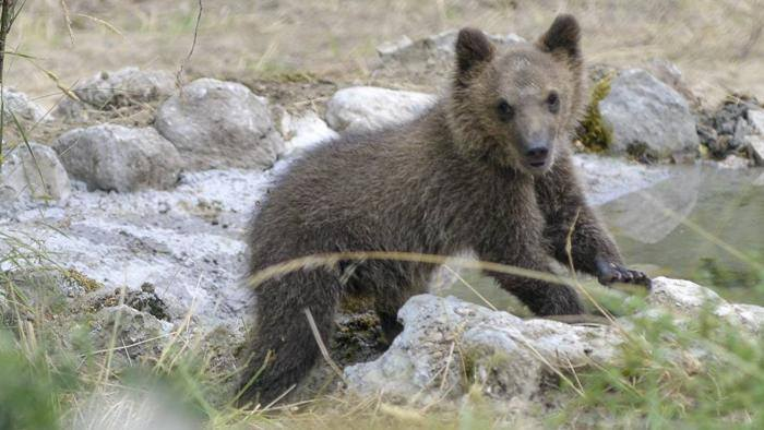 Photo of Una banca del seme per salvare l'orso marsicano