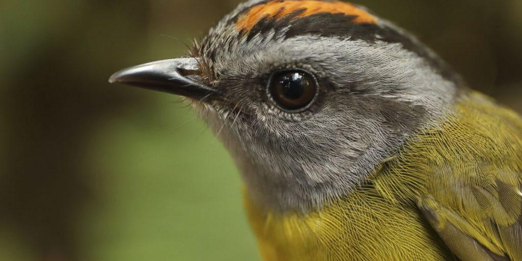 estinzione, uccelli, Ande, Tropici, Cerro de Pantiacolla, cambiamento climatico, innalzamento termico