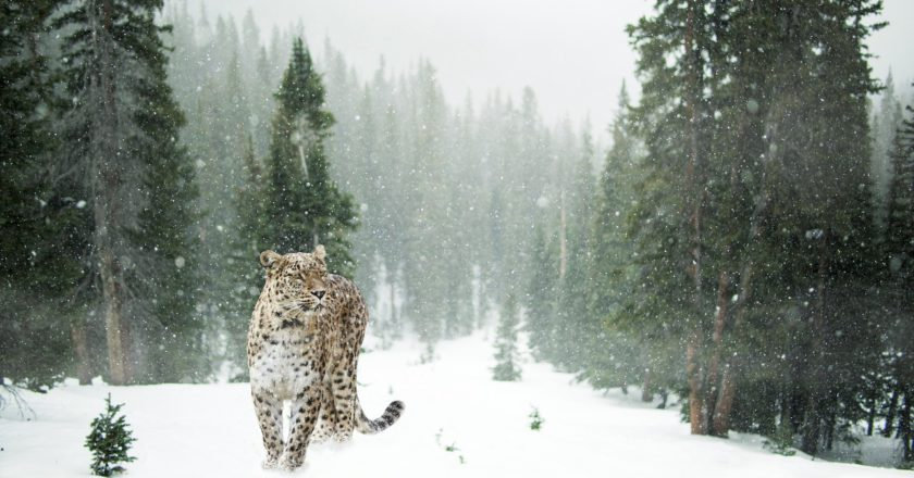 Leopardo delle nevi, caccia, natura, video