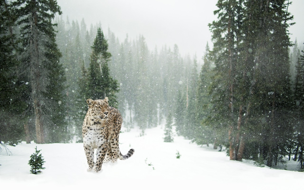 Photo of VIDEO – Leopardo delle nevi precipita per 120 metri senza mollare la preda