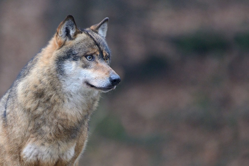 lupi, costa, ambiente