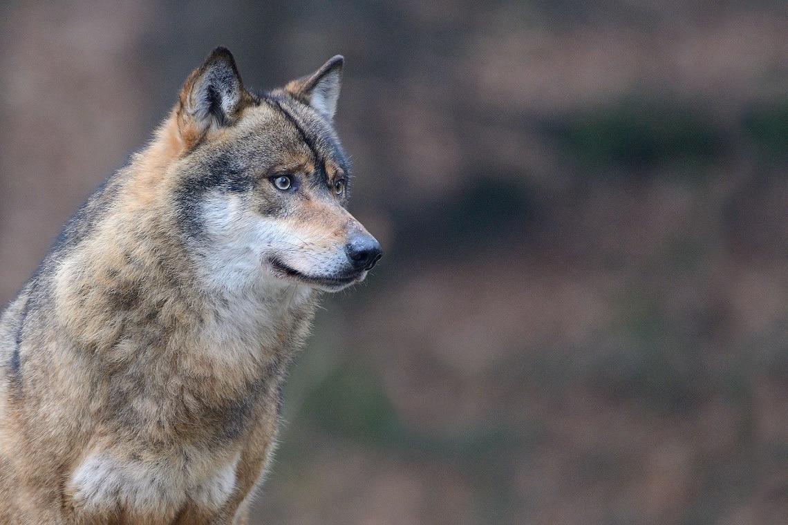 Photo of Calabria: lupo ucciso e appeso a cartello stradale