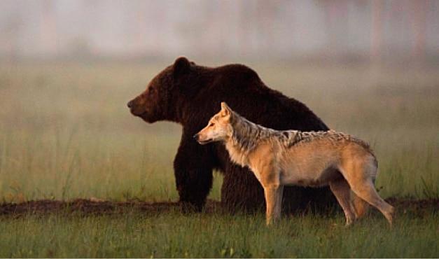 Photo of Abbattimento di orsi e lupi, Bolzano difenderà la sua legge in Corte Costituzionale