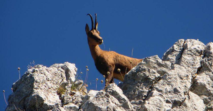 Monti Sibillini, appennino, camoscio appenninico, biodiversità, conservazione, censimento, bramito