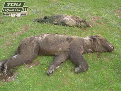 Photo of Abruzzo, tre orsi uccisi dall'incuria – di Stefano Ardito