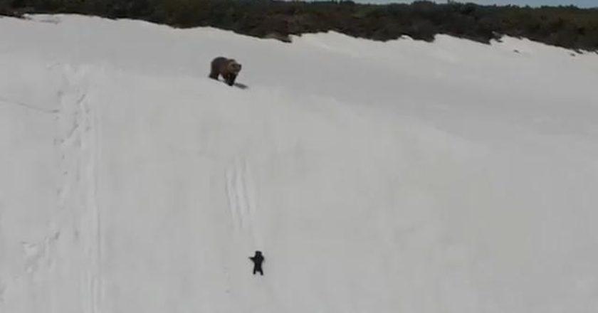 orso, cucciolo, Russia, climber, Magadan