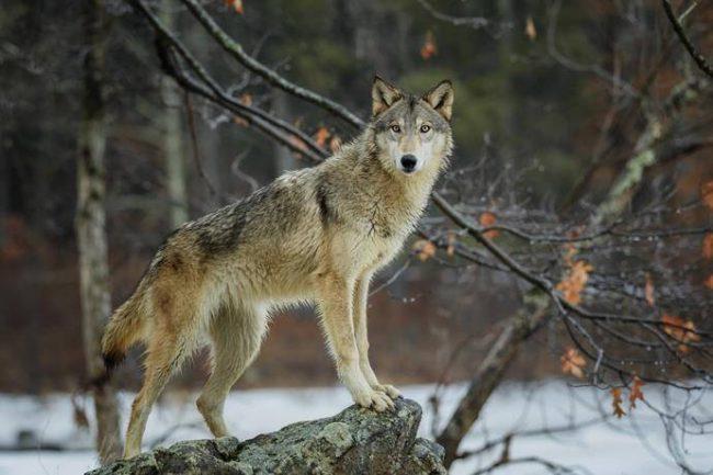 Photo of Trovata testa di lupo mozzata appesa ad un cartello stradale nel torinese