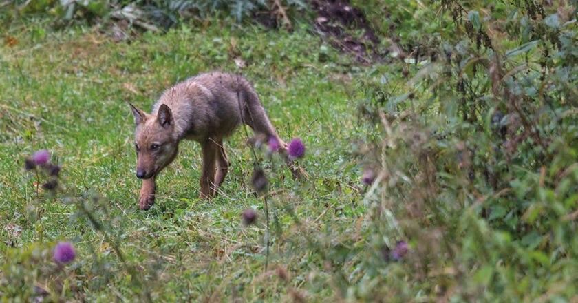 lupo, ispra, piano nazionale, monitoraggio, conservazione
