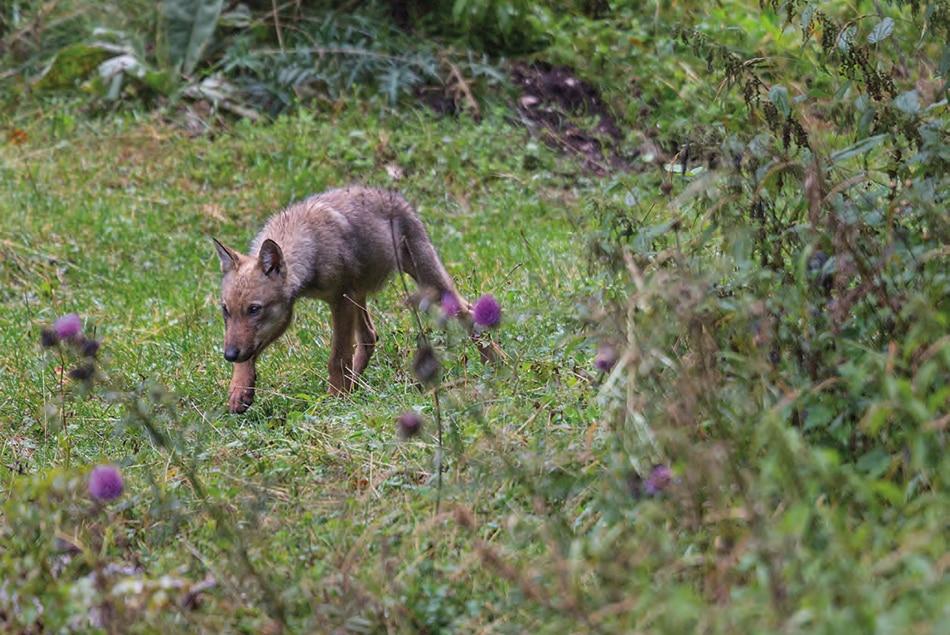 Photo of Il lupo torna a popolare un quarto delle montagne italiane