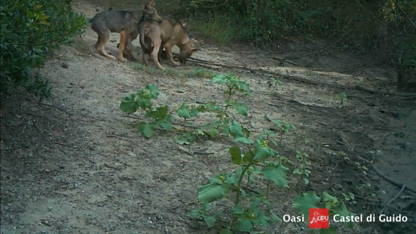 Photo of Una cucciolata di lupi alle porte di Roma. Lo splendido video della LIPU