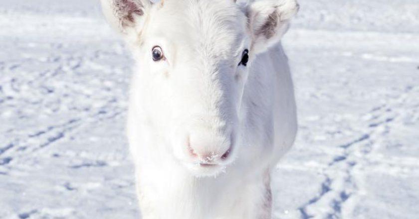 renna bianca, Norvegia, fotografia, Mads Nordsveen, Natale