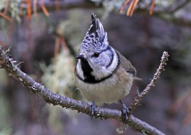 Photo of L'inarrestabile scomparsa degli uccelli delle montagne europee