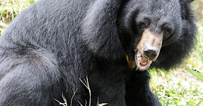 Pakistan, orso bruno himalayano, estinzione, salvaguardia, caccia, biodiversità, WWF, Himalaya