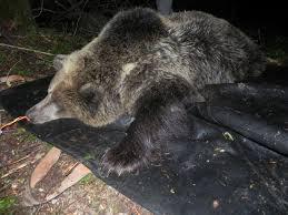 Photo of Uccisione dell'orsa KJ2. Il Gip chiede di indagare il presidente della Provincia Ugo Rossi