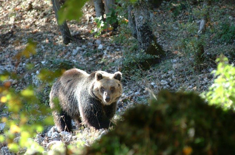 """Photo of """"Salvate l'orso marsicano"""". Il disperato appello del WWF dopo la tragedia della vasca in Abruzzo"""
