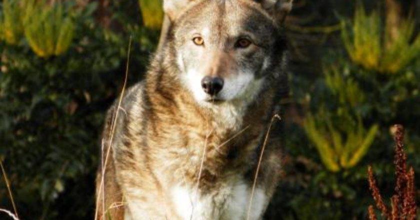 texas, coyote, lupo rosso, estinzione, DNA, genetica, ibridazione, canide
