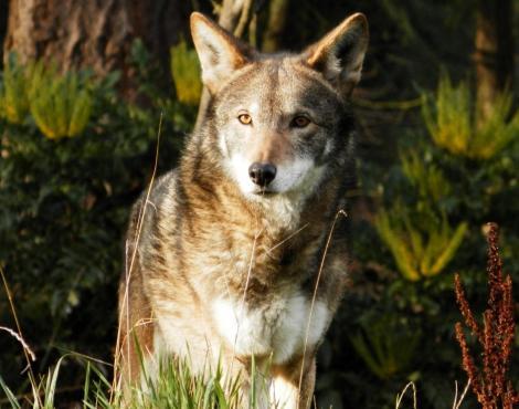 """Photo of Un gene """"fantasma"""" dell'estinto lupo rosso riappare in alcuni canidi"""