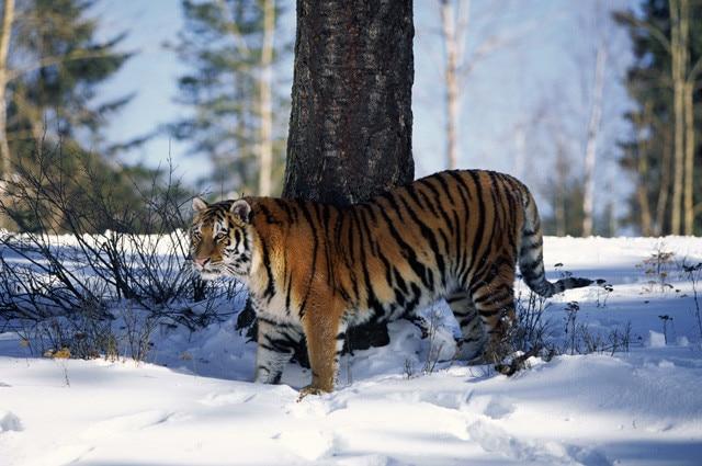 tigre del bengala, India, Buthan, Dibang Valley, salvaguardia, Himalaya