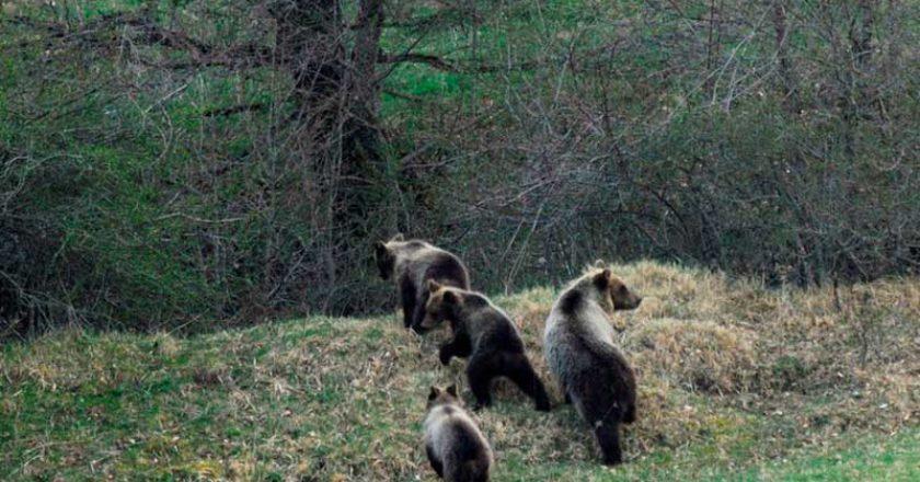 abruzzi, orso marsicano, orso, parco abruzzo