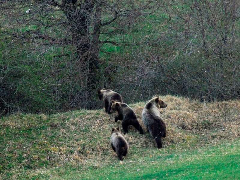 Photo of Parco Nazionale d'Abruzzo. 11 i cuccioli di orso marsicano contati nel 2018