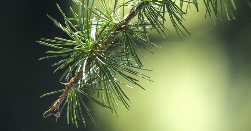larice, siccità, stress idrico, eurac research, trentino alto adige, conifere, fotosintesi, cambiamento climatico