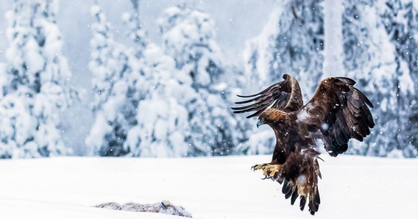 Finlandia, Ossi Saarinen, fotografia, wildlife, natura