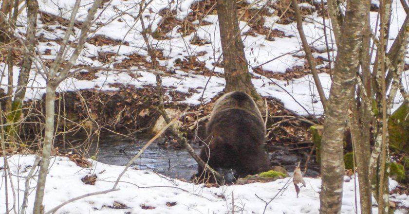 orso marsicano, pescasseroli, PNALM, Abruzzo, letargo, inverno