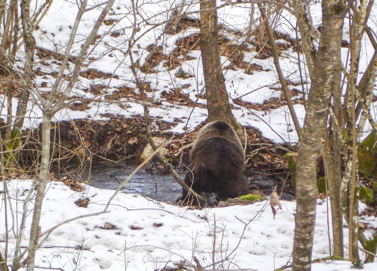 Photo of Un orso marsicano a spasso nella neve nella stagione del letargo
