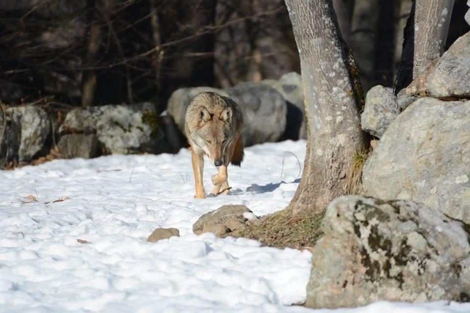 Parco Alpi Marittime, fauna, lupo, fotografia, divieto