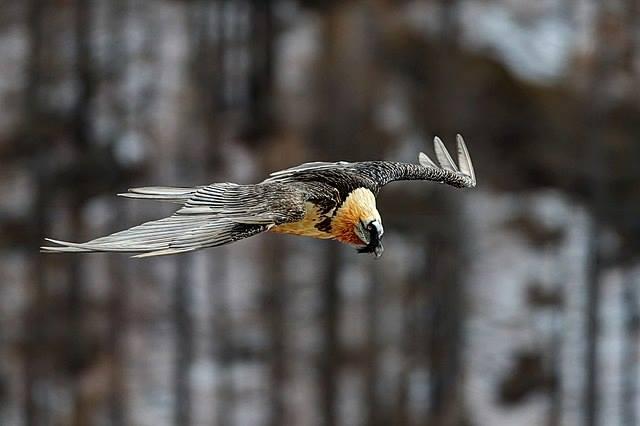Photo of Nasce un gipeto nel Parco del Gran Paradiso. Ghiacciatori denunciati perchè troppo vicini al nido