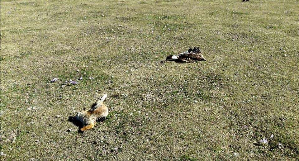 Photo of Valnerina. Trovate morte due aquile reali e una volpe probabili vittime di bocconi avvelenati