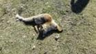 La carcassa della volpe rinvenuta sui monti della Valnerina - Foto FB @ArcheoAmbiente